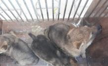 Kurtları öldürerek yavrularını sahiplenen 4 kişiye 15 bin 25 lira para cezası