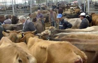 Ağrı'da hayvan pazarları haftanın 5 günü açık...