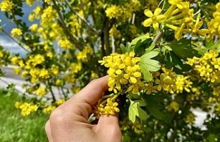 Ağrı'da mevsim çiçeklerinden renk cümbüşü