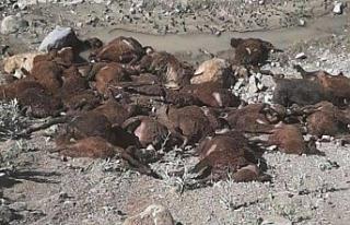 Aç kalan köpekler koyunları yedi