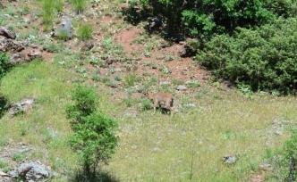Tunceli'de koruma altındaki yaban keçileri beslenirken görüntülendi