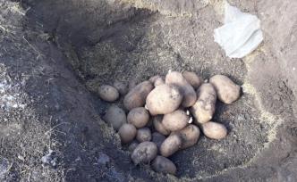Köylülerin patatesleri uzun süre saklama formülü