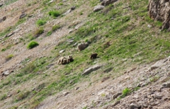 Ovacık'ta bozayılar ve yaban domuzları görüntülendi